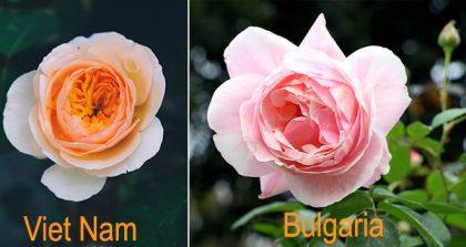 rosita-garden-hoa-hong-bungari